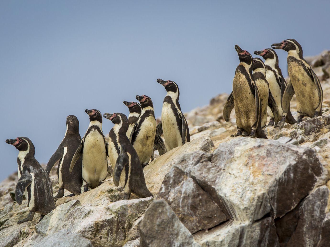 Peruvian penguins on Ballestas Islands in the Pacific Ocean.
