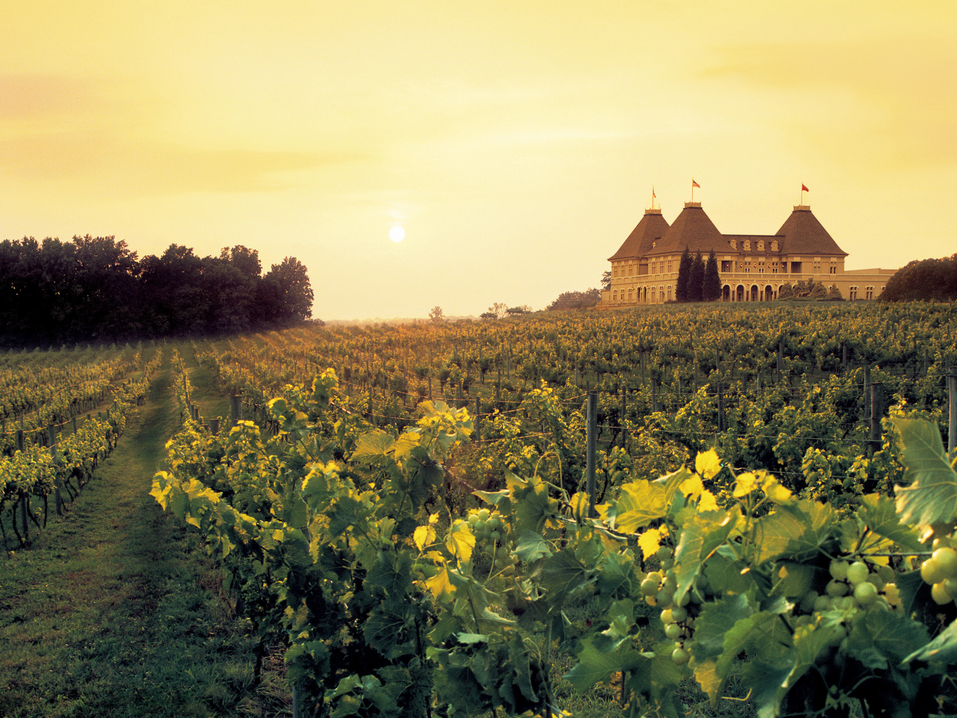 Vineyard with Chateau Elan Winery & Resort in with yellow sky