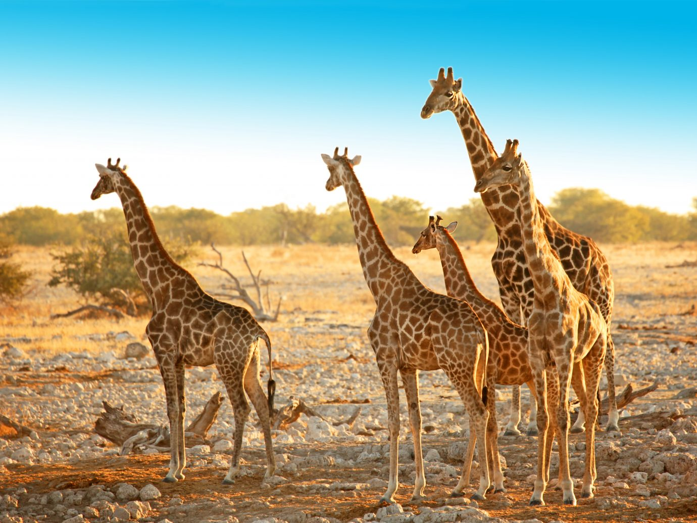 Family of five wild giraffes is standing in a dry savannah landscape near Okaukuejo waterhole in Etosha National Park in Namibia, Africa. The group consists of young and older animals of various ages and size.