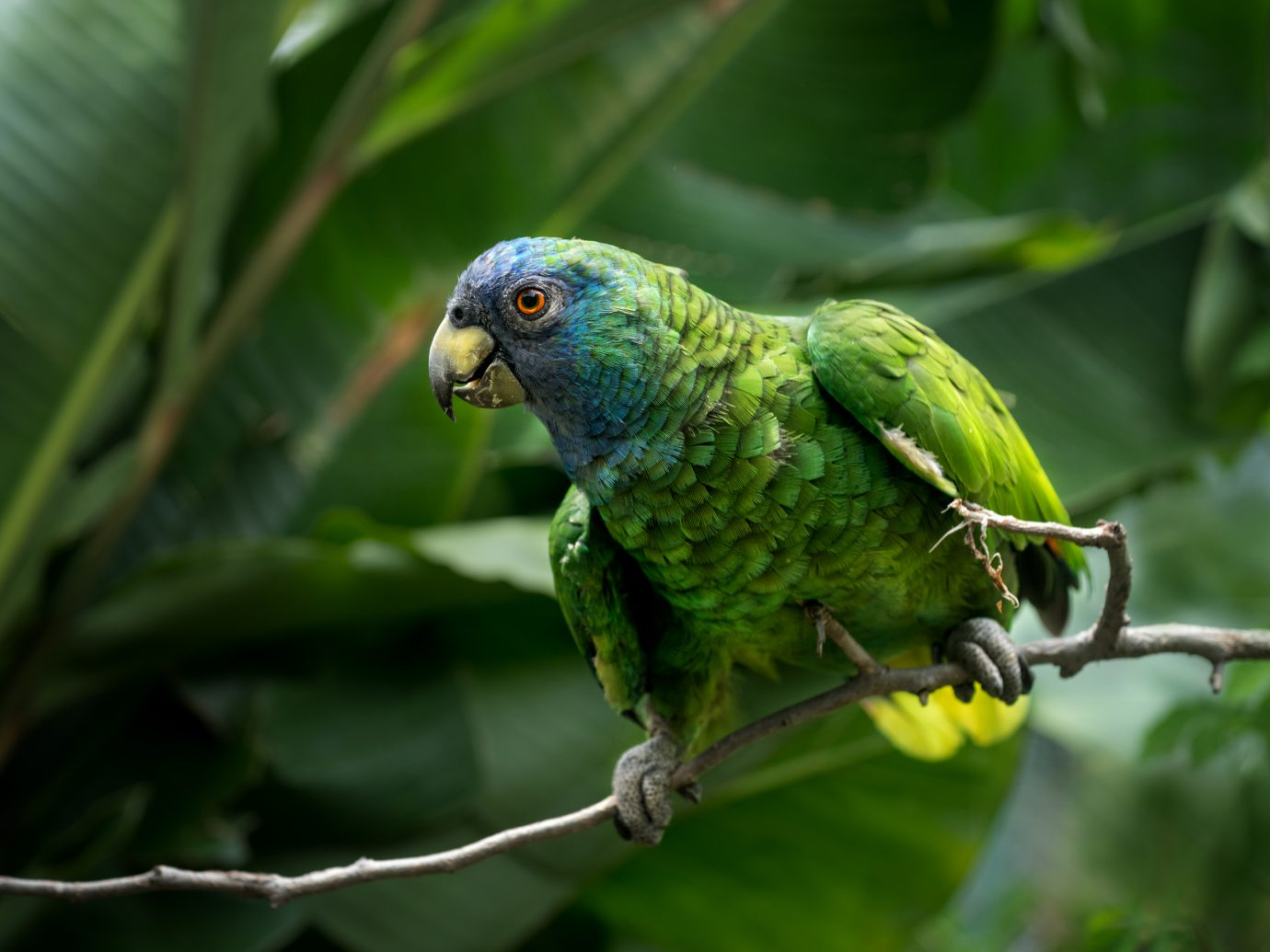 Amazona arausiaca, a parrot living in Dominica's forests.