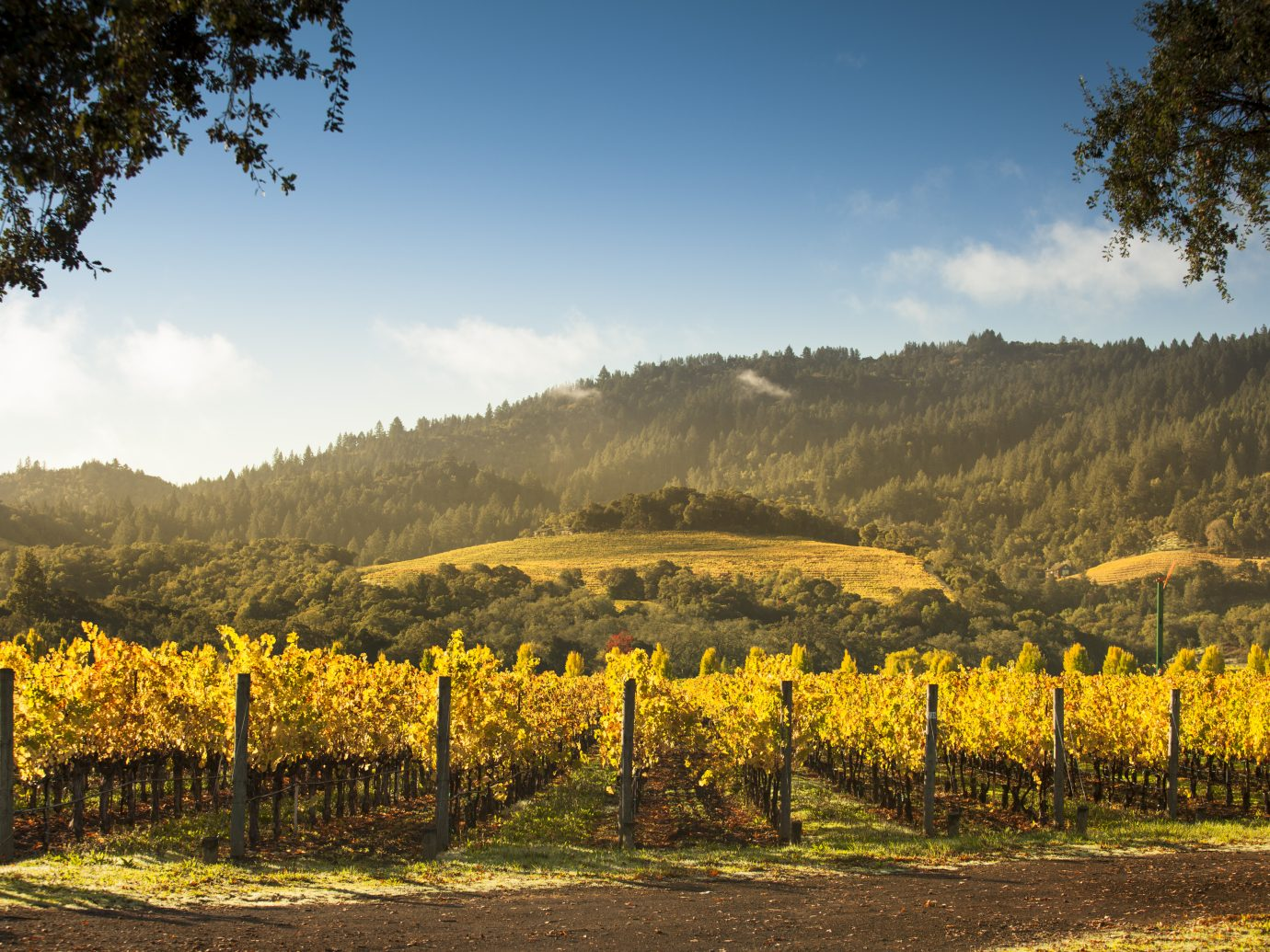 Vineyard field and ripe grape crops in wine country