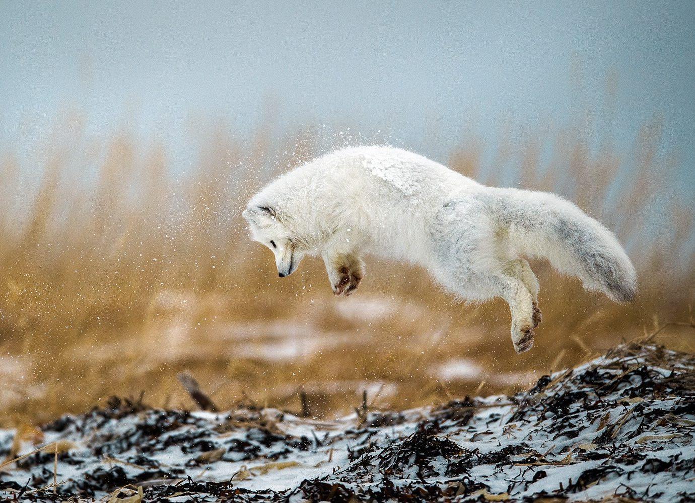 arctic fox in the wild
