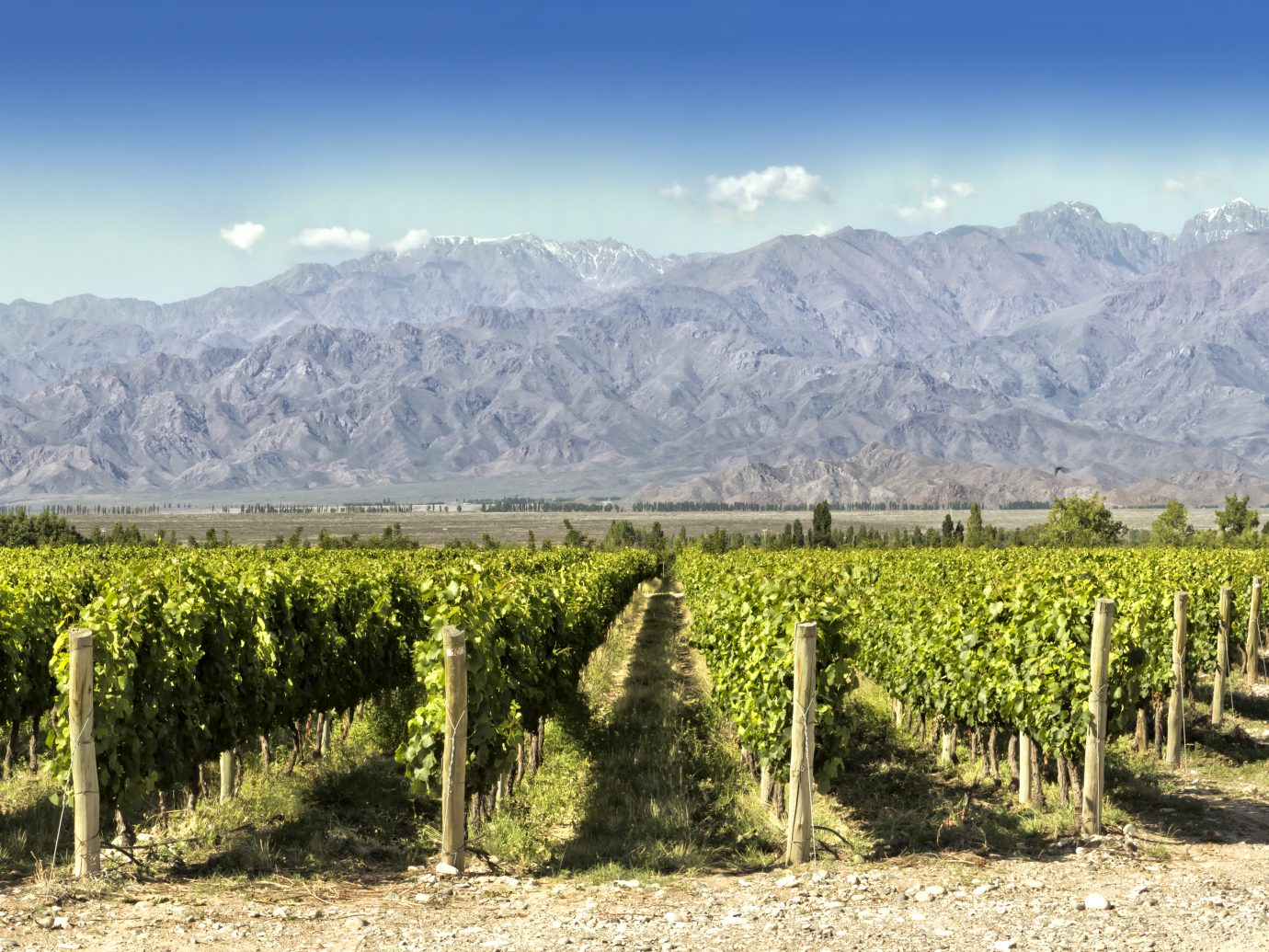Beautiful springtime in vineyards at foot of the Andes. Tupungato, Mendoza, Argentina.