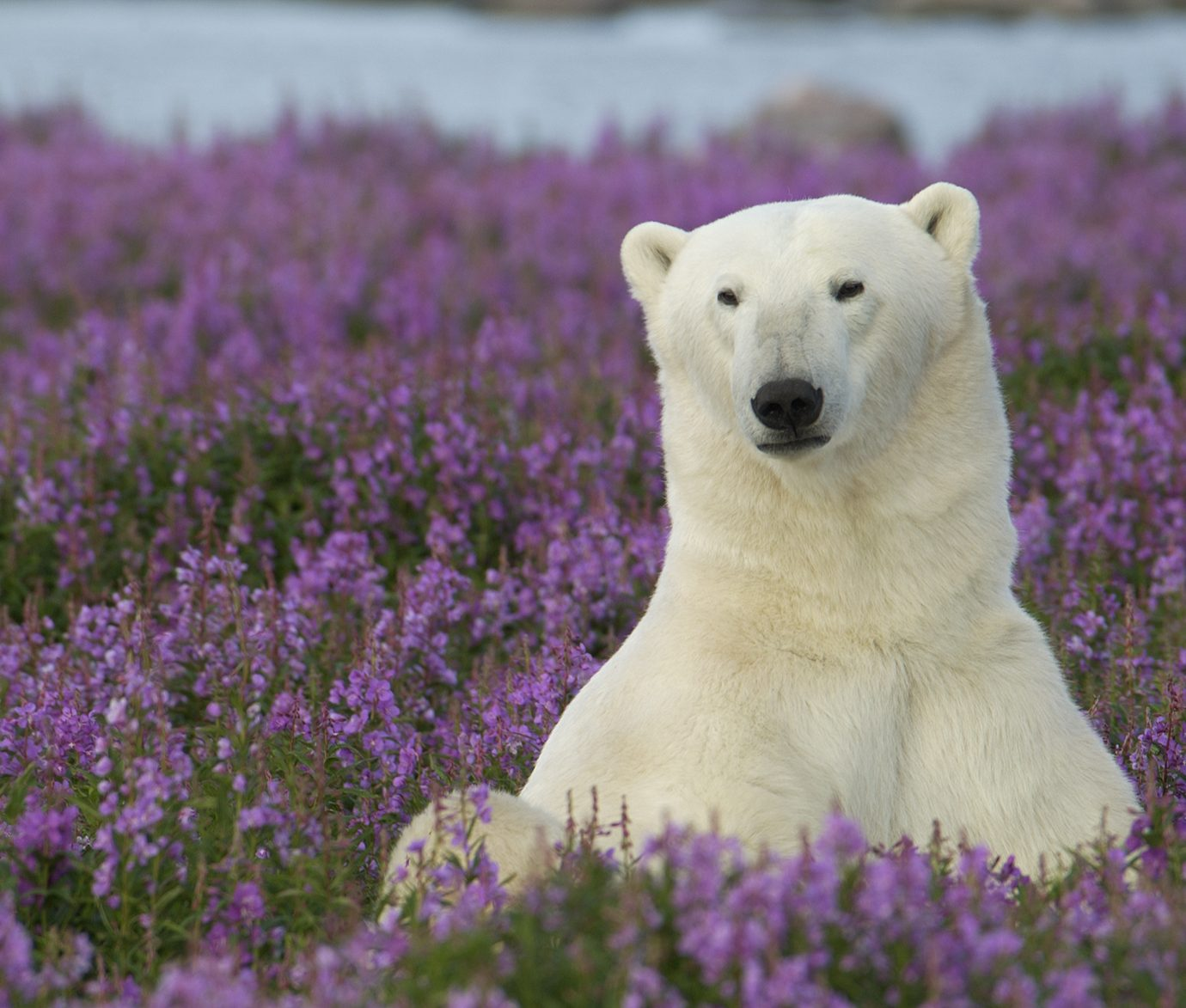 Polar Bear in a patch of flowers
