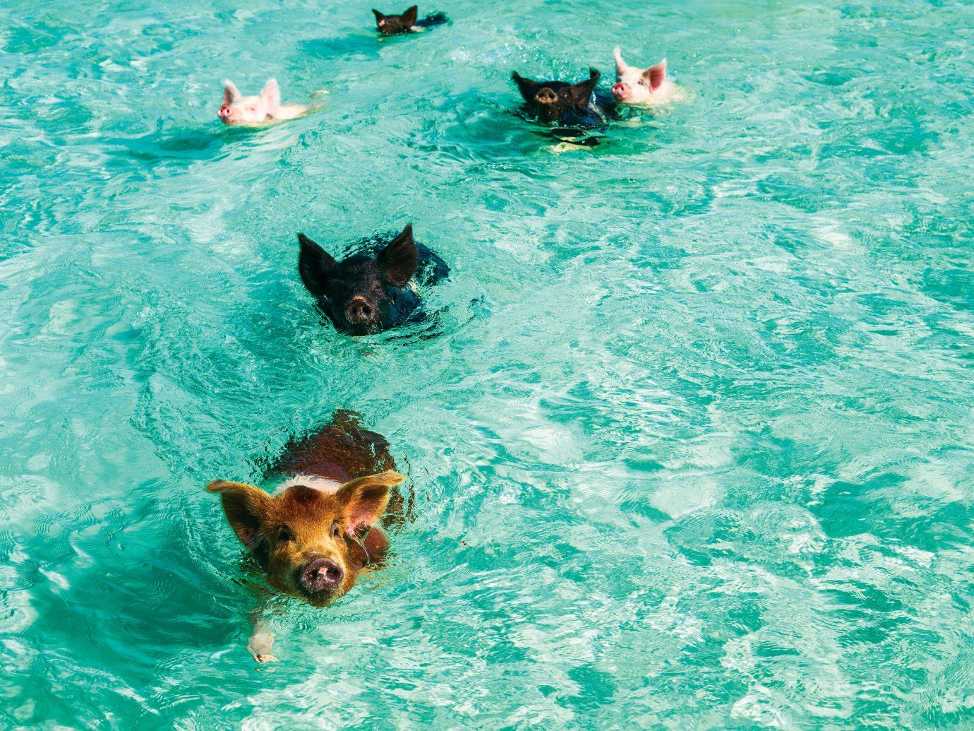 Pigs swimming in the ocean at Grand Isle Resort & Spa, Great Exuma, Bahamas