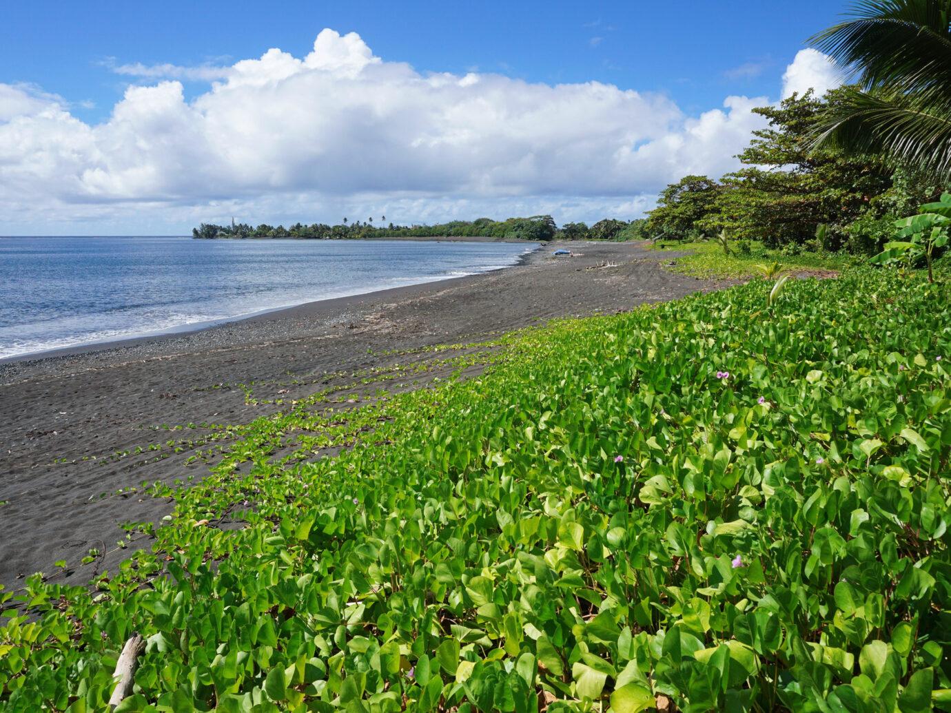 Vegetation (Ipomoea pes-caprae) on a black sand beach of Tahiti island near Tautira village, French Polynesia, south Pacific ocean