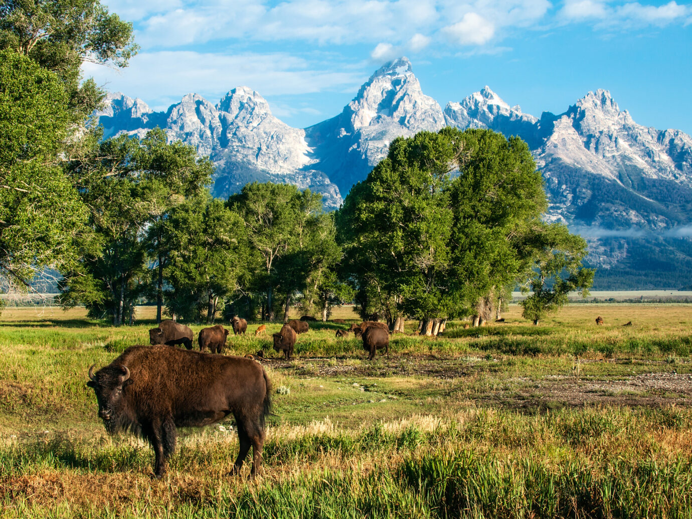 A solitary buffalo bull gazes toward camera in the foreground while his herd grazes in the middle ground and the Grand Tetons loom in the background. Composition includes generous copy space lower right. Captured near Jackson, Wyoming, USA.