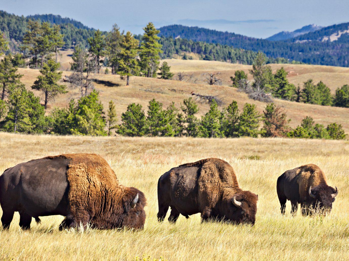 Road Trips Trip Ideas grassland Wildlife bison nature reserve ecosystem wilderness cattle like mammal grazing national park pasture terrestrial animal prairie herd grass highland landscape ecoregion Ranch tree plain