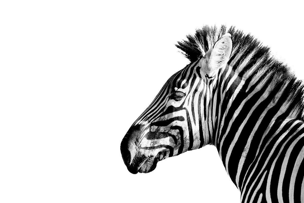 Trip Ideas zebra animal mammal outdoor black and white vertebrate standing horse like mammal mane monochrome photography mustang horse monochrome illustration