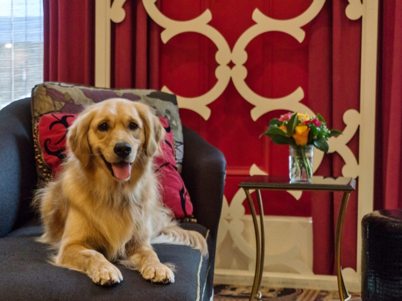 Offbeat Dog indoor sitting chair brown curtain golden retriever dog like mammal retriever seat