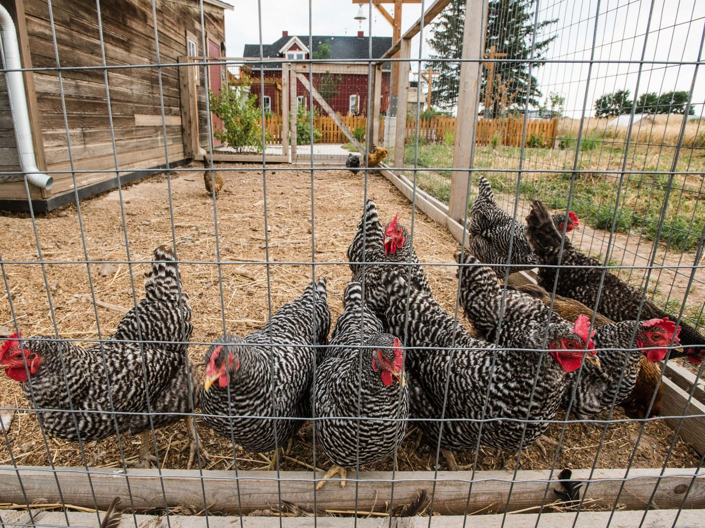 Trip Ideas Fence grass sheep outdoor chicken Bird galliformes cage animal pen gallinaceous bird rooster hay livestock poultry group gate wire phasianidae metal fowl beak Farm area chicken coop