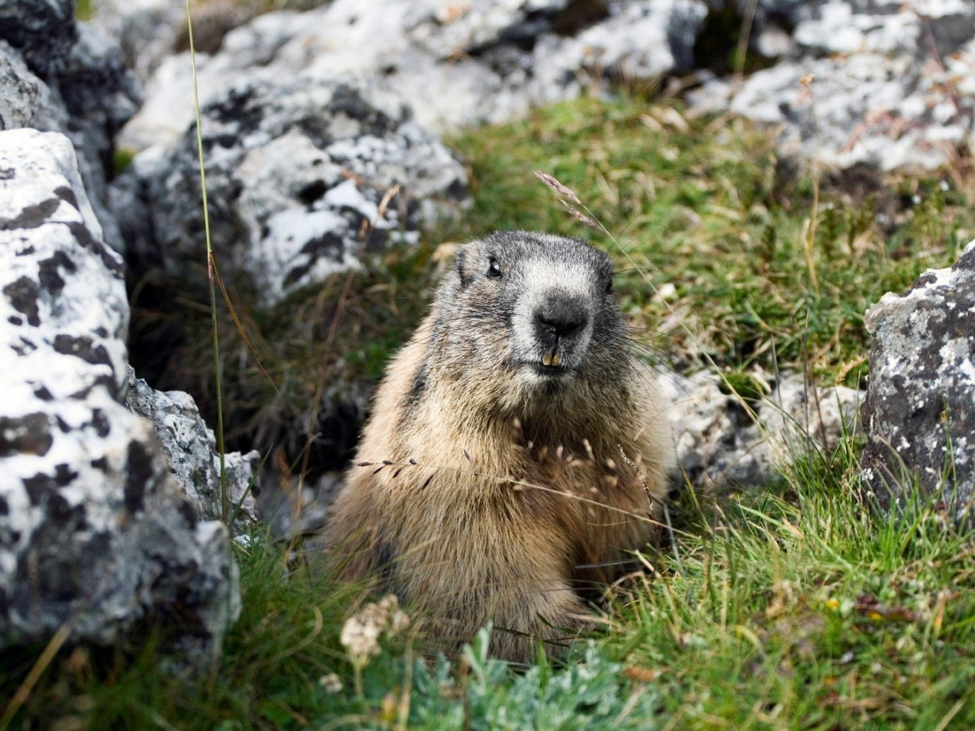 Arts + Culture rock outdoor grass rocky mammal vertebrate Wildlife fauna marmot field prairie dog zoo rodent mustelidae hillside