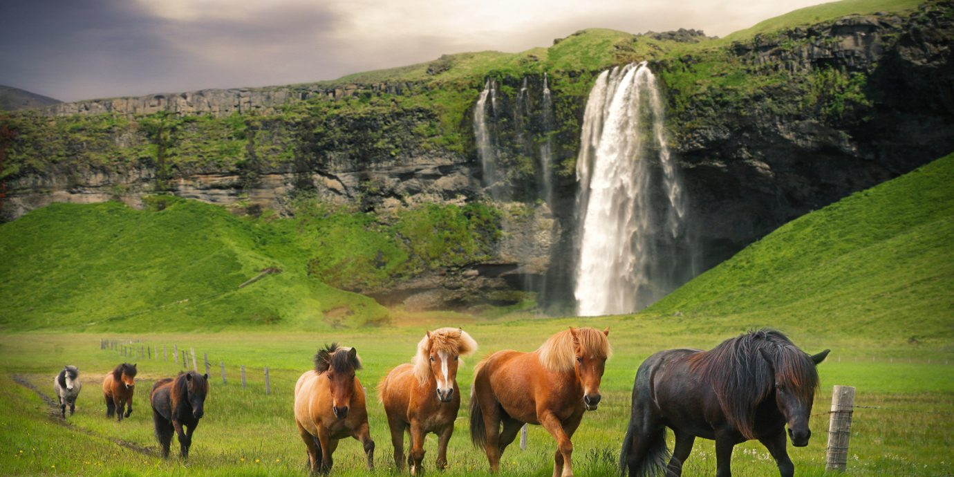 Iceland Offbeat Packing Tips Style + Design Travel Tips grass outdoor Nature animal grassland pasture mammal horse horse like mammal mountain sky highland grazing rural area hill Wildlife mane herd tree national park landscape livestock ecoregion mustang horse meadow mount scenery field bovine area