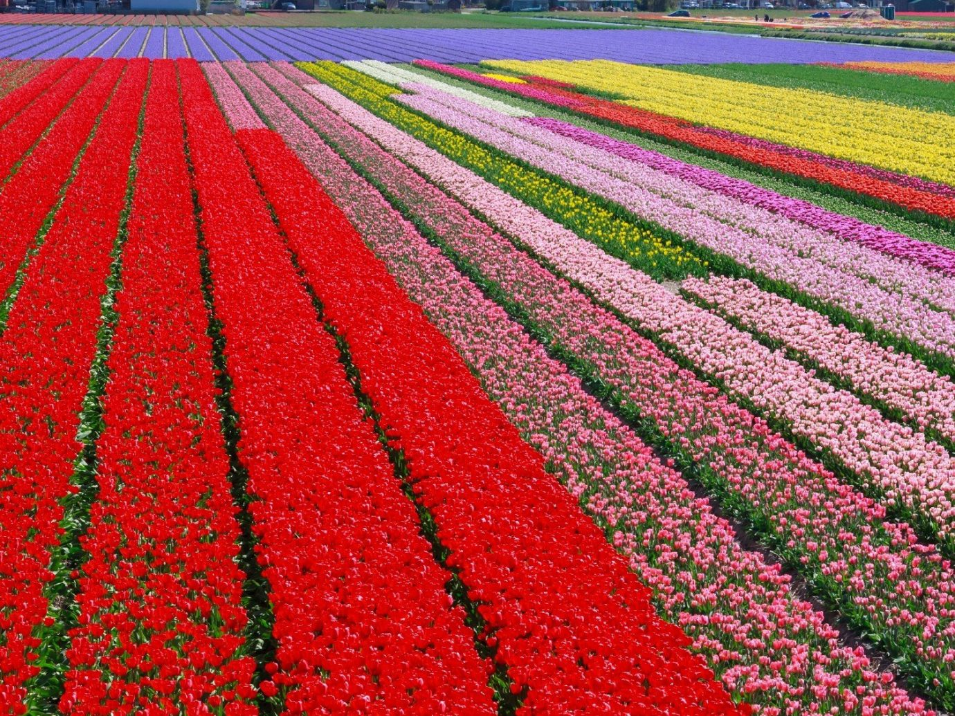 Travel Tips grass outdoor flower plant tulip field land plant flowering plant red annual plant lily family colorful colored lush