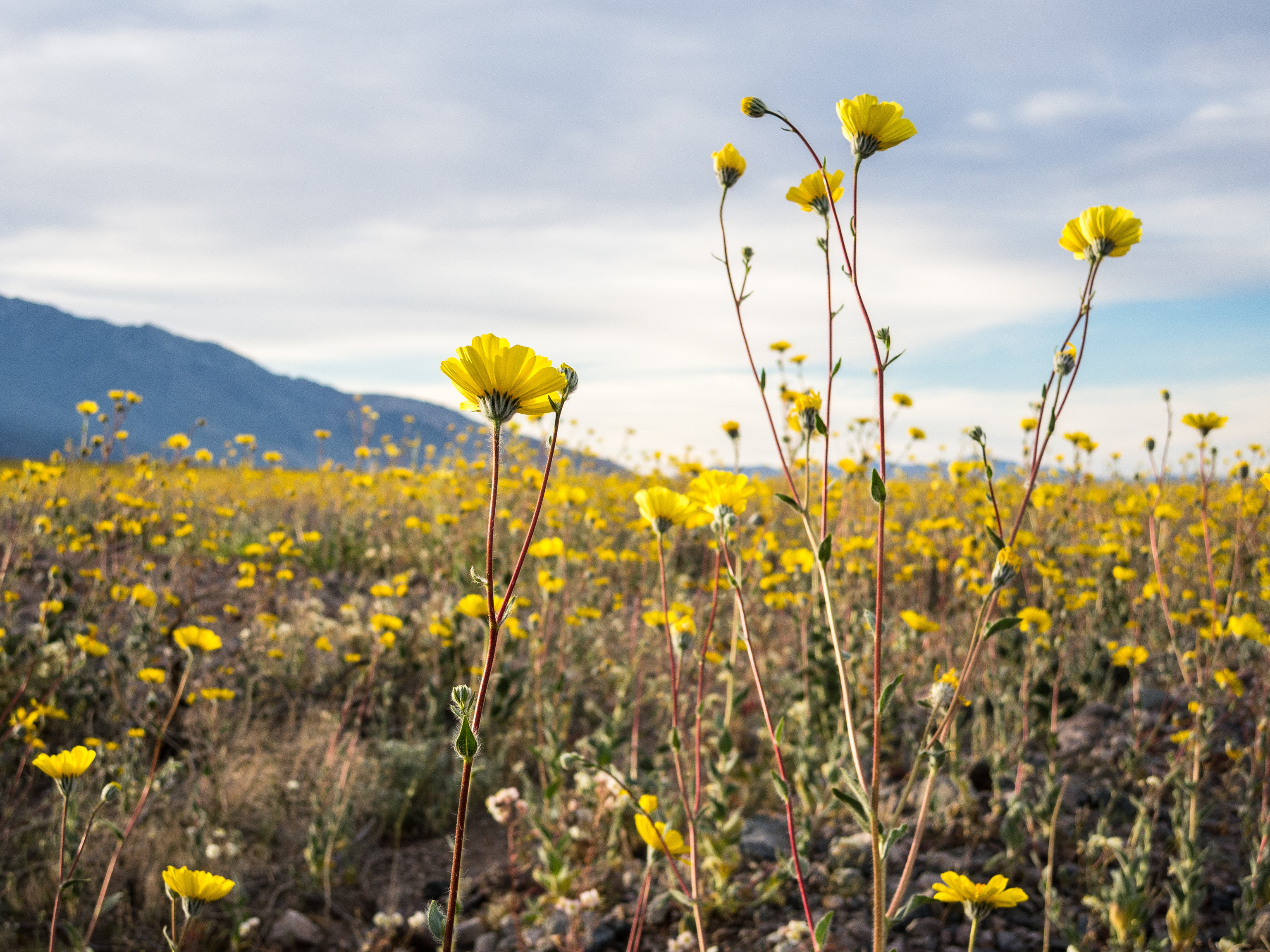 Trip Ideas flower yellow grass plant outdoor field flora grassland meadow sunflower prairie agriculture land plant wildflower daisy family plain flowering plant rural area sunlight rapeseed brassica brittlebush