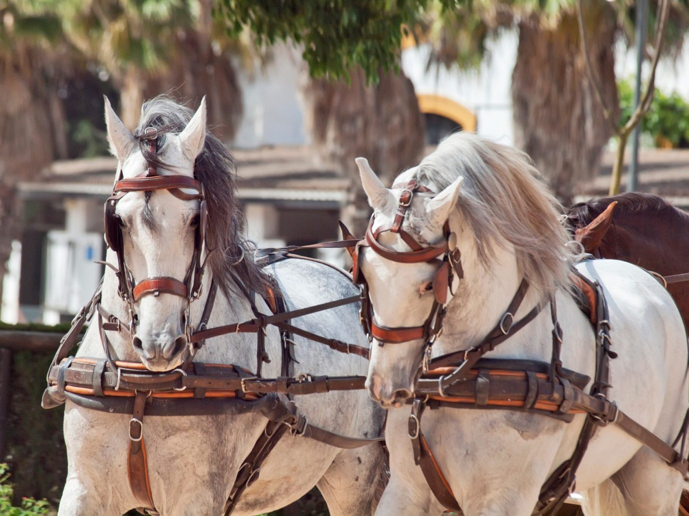 Arts + Culture outdoor horse horse harness mammal carriage pulling horse like mammal pack animal horse-drawn vehicle stallion equestrianism cart