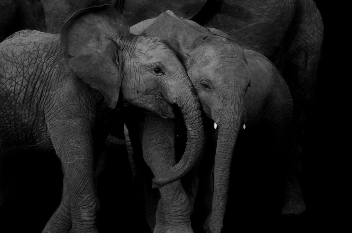 elephant Trip Ideas animal outdoor indian elephant standing mammal black and white vertebrate elephants and mammoths fauna adult monochrome monochrome photography baby Family