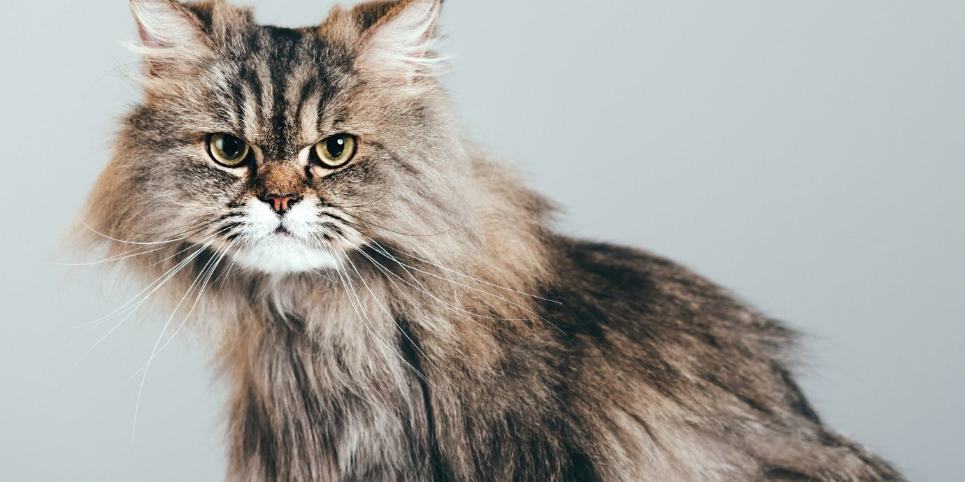 Offbeat cat sitting animal mammal indoor vertebrate domestic cat whiskers domestic long haired cat cat like mammal small to medium sized cats norwegian forest cat siberian maine coon nebelung domestic short haired cat british semi longhair carnivoran