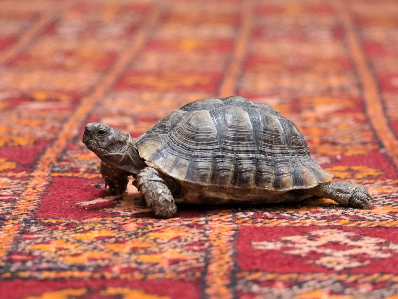 Hotels reptile animal floor turtle sitting vertebrate tortoise emydidae fauna box turtle close up colorful colored