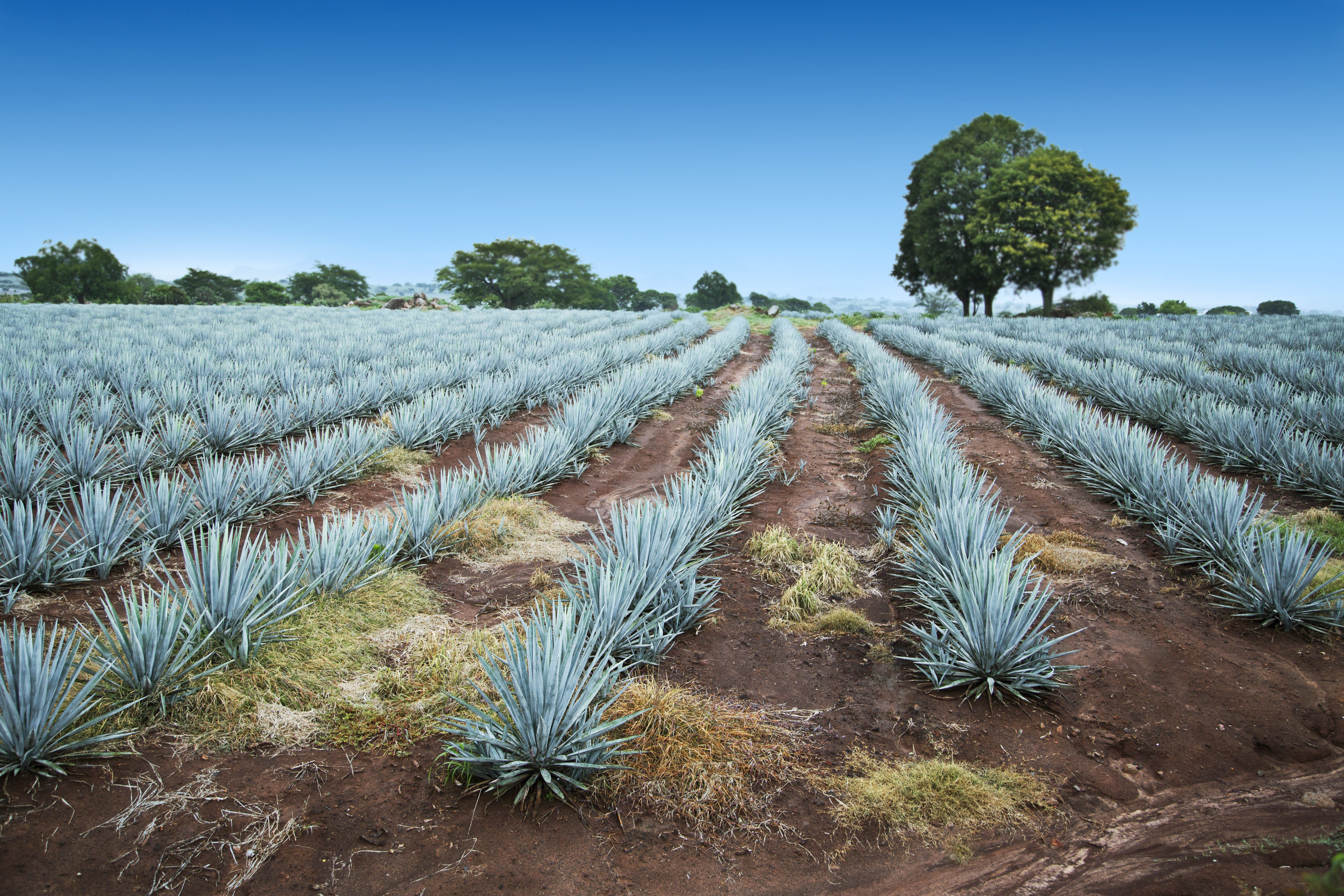 Trip Ideas plant field agave azul crop agriculture agave grass family tree grass plantation shrubland sky cactus flowering plant plant community landscape