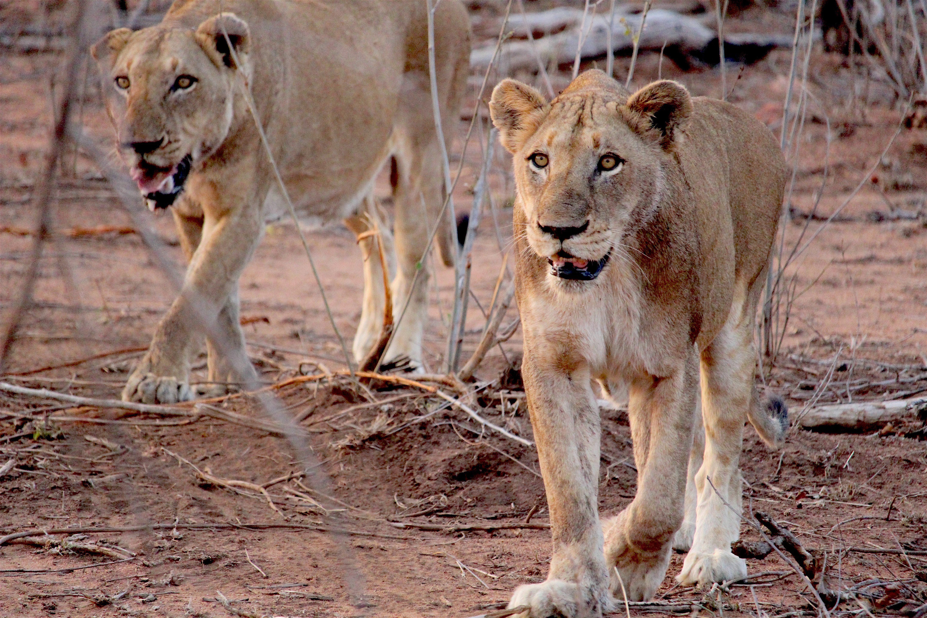 Offbeat Outdoors + Adventure Safaris Trip Ideas ground outdoor animal Lion mammal dirt big cat vertebrate Wildlife fauna big cats masai lion cat like mammal Safari puma Adventure mane area dry dirty