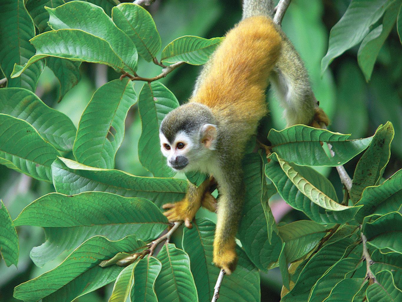 Hotels Jungle Nature Outdoors Tropical Wildlife animal mammal tree outdoor green vertebrate monkey primate new world monkey white headed capuchin fauna squirrel monkey rainforest capuchin monkey plant three toed sloth sloth branch