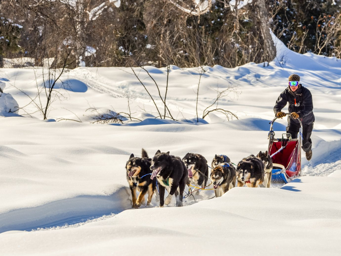Trip Ideas snow outdoor tree transport skiing vehicle sled land vehicle mushing dog sled Winter sled dog racing Dog season sled dog dog like mammal nordic skiing