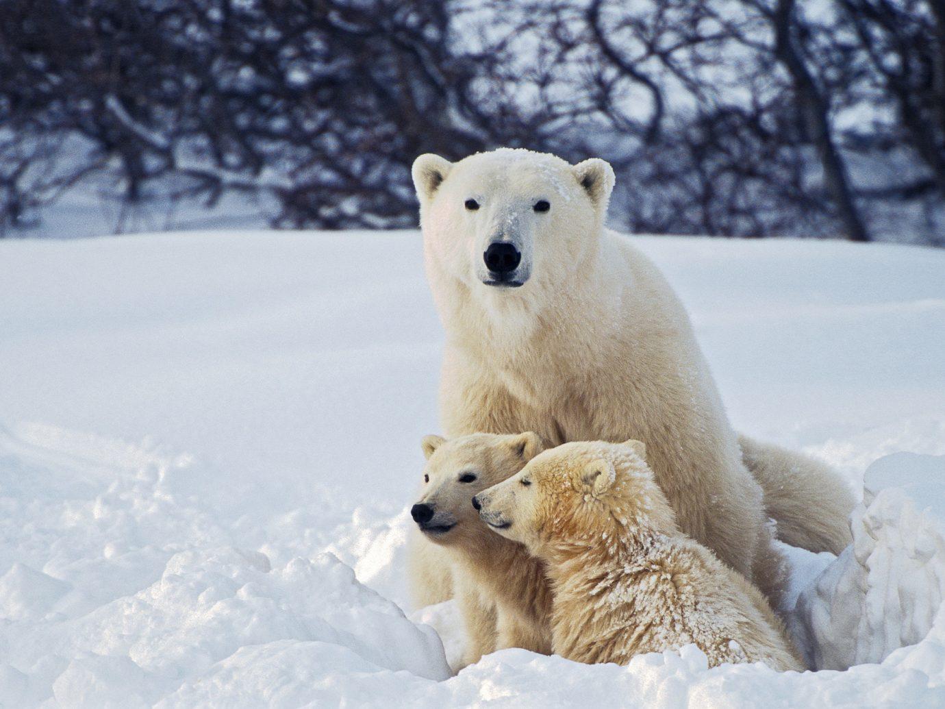 Trip Ideas snow bear outdoor tree animal mammal vertebrate polar Winter arctic weather dog breed group polar bear season greenland dog