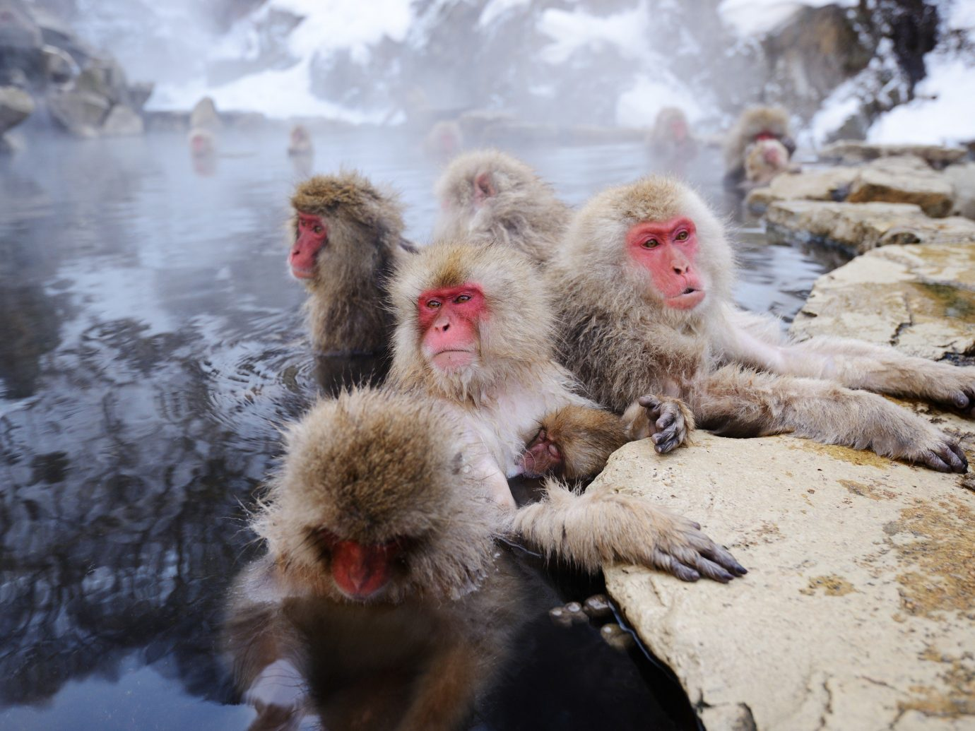 Adventure snow macaque outdoor primate japanese macaque old world monkey mammal monkey pile