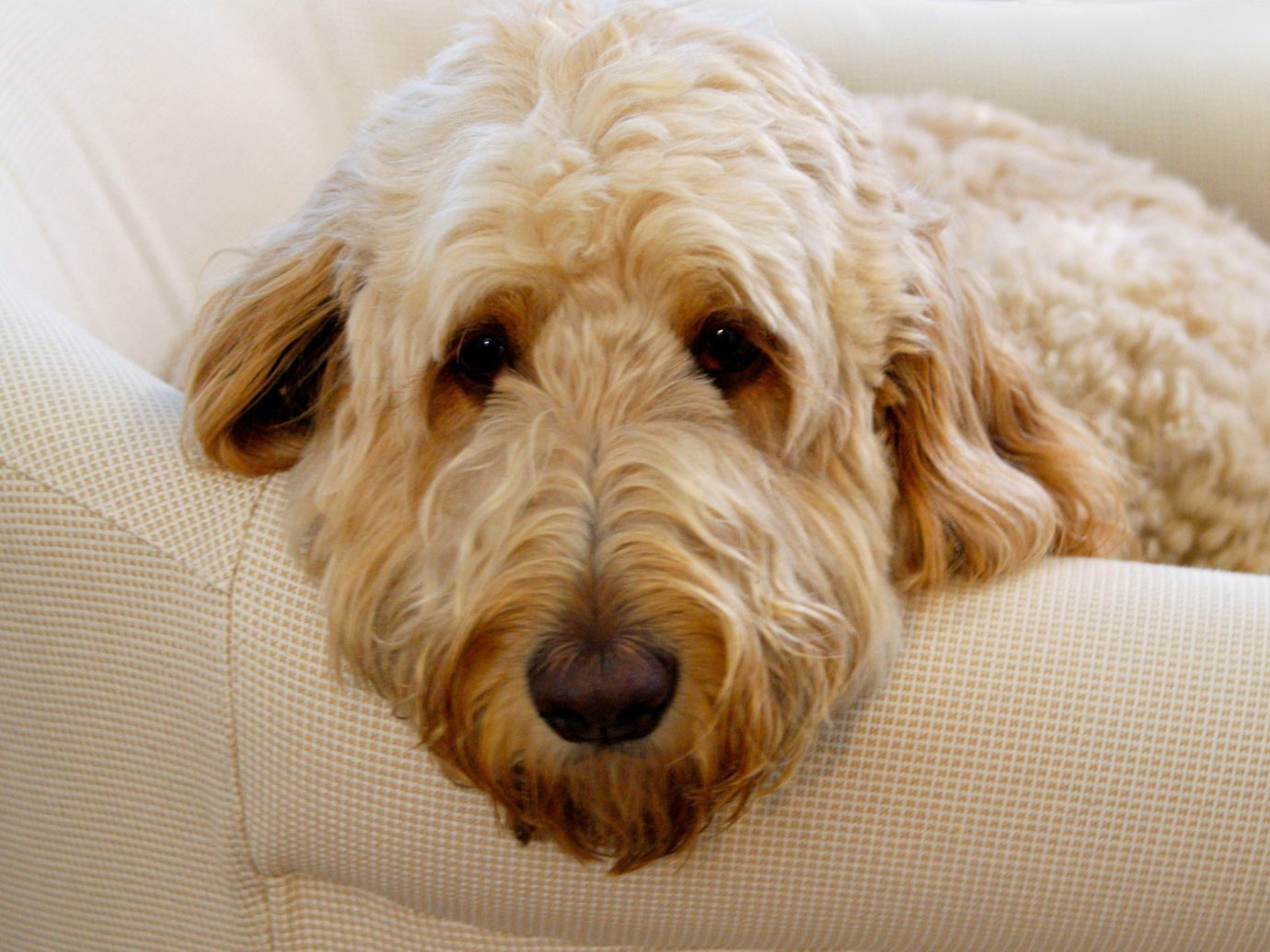 Hotels Dog indoor mammal goldendoodle dog breed vertebrate brown cockapoo dog like mammal head dog crossbreeds schnoodle poodle crossbreed irish soft coated wheaten terrier miniature poodle dandie dinmont terrier spinone italiano glen of imaal terrier petit basset griffon vendéen