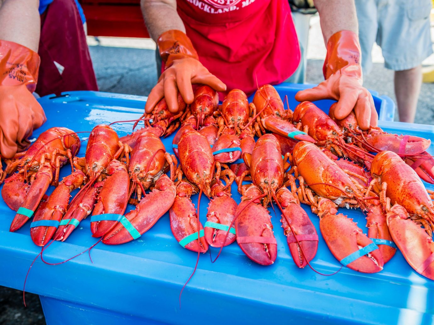 Maine Lobster Festival Offbeat arthropod invertebrate animal person carrot Seafood food blue american lobster lobster decapoda crustacean animal source foods seafood boil crab king crab homarus dungeness crab crab boil new england clam bake homarus gammarus crab meat crayfish spiny lobster
