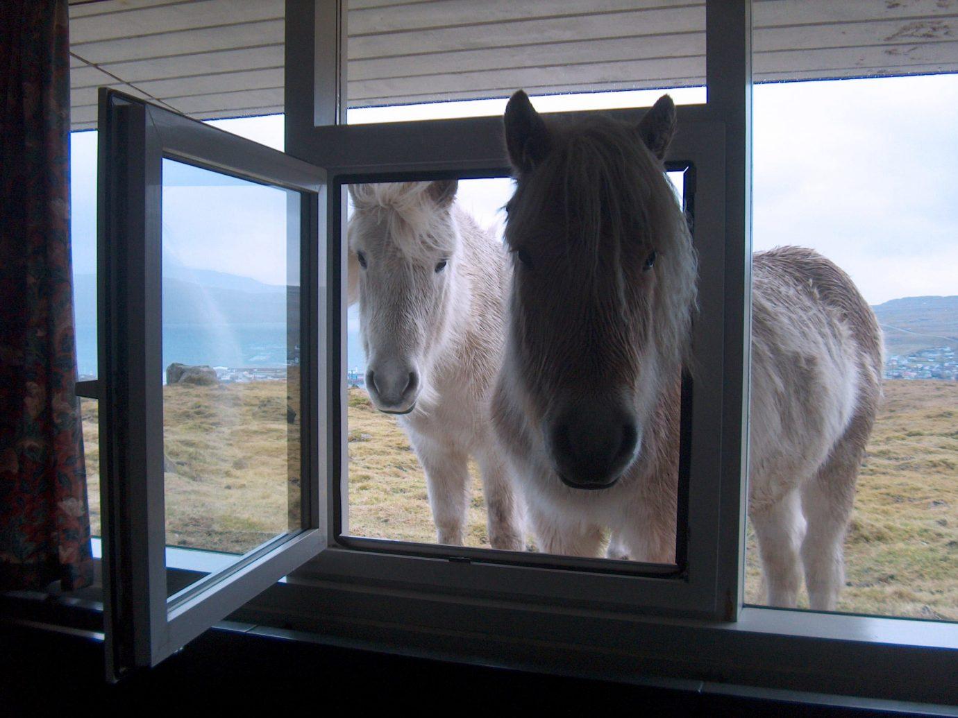 Trip Ideas window horse looking mammal indoor standing animal horse like mammal mane stallion staring day