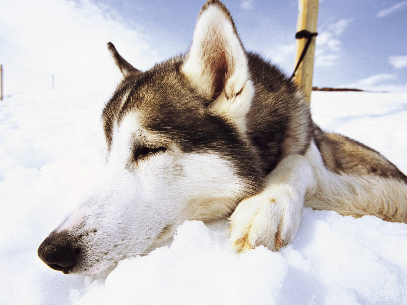 Adventure Trip Ideas Dog snow outdoor siberian husky mammal dog breed vertebrate sled dog laying Winter dog breed group greenland dog dog like mammal east siberian laika northern inuit dog alaskan malamute saarloos wolfdog west siberian laika wolfdog