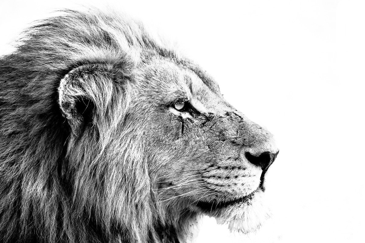 Trip Ideas animal mammal looking big cat Lion black and white vertebrate fauna mane nose cat like mammal whiskers big cats staring roar black monochrome photography monochrome sketch drawing head close