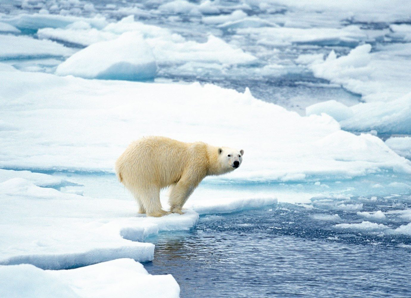 Cruise Travel Trip Ideas snow outdoor polar water arctic bear mammal animal vertebrate natural environment arctic ocean polar bear tundra ice Nature ice cap