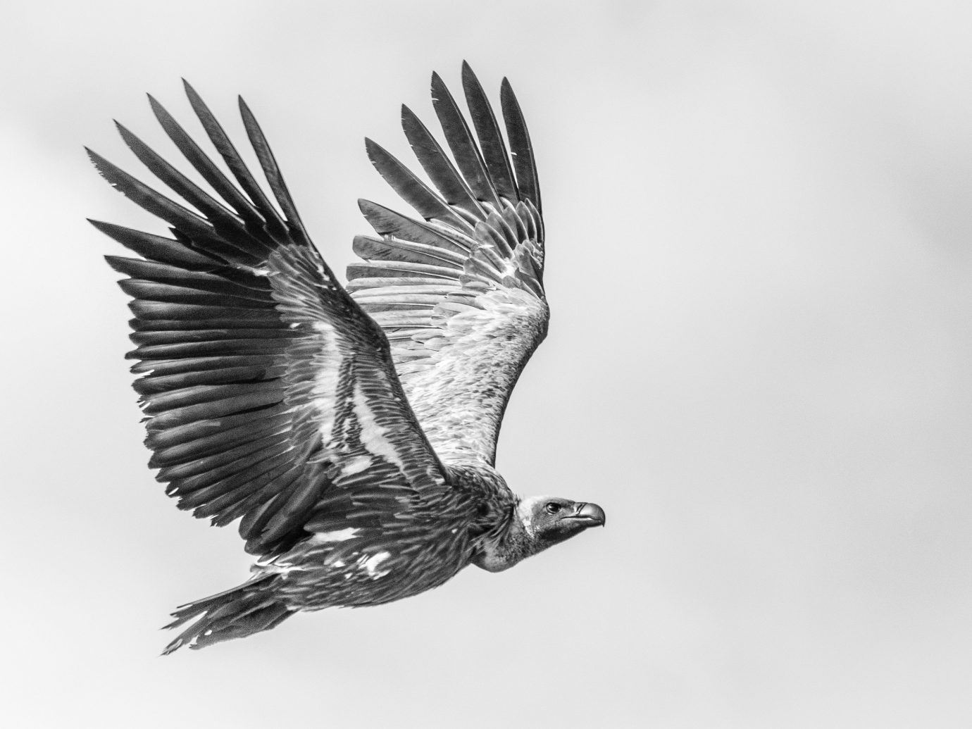 Trip Ideas Bird animal sky outdoor flying black and white beak vertebrate bird of prey accipitriformes monochrome photography monochrome eagle perching bird wing air sketch raven drawing cloudy day