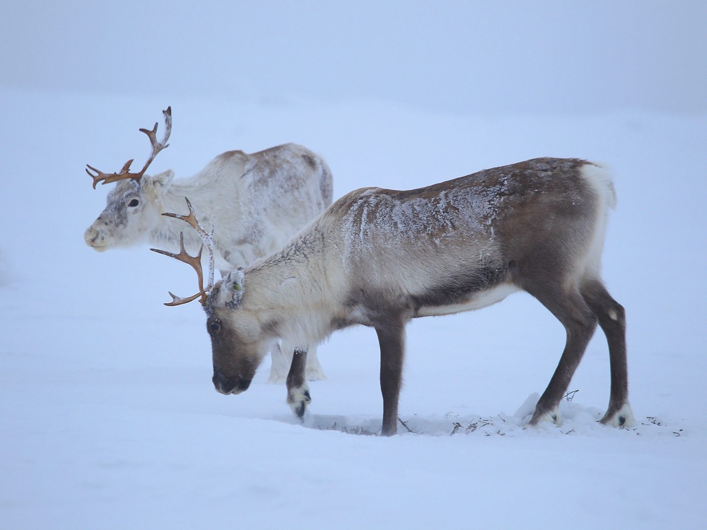 Trip Ideas snow animal outdoor mammal vertebrate deer fauna Wildlife reindeer standing Winter white tailed deer elk day