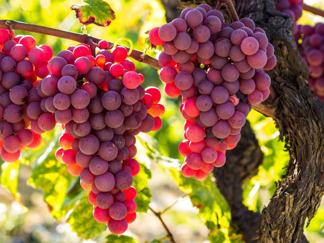 Style + Design grape food plant outdoor fruit produce vitis agriculture land plant flowering plant grapevine family flower shrub autumn colored colorful several
