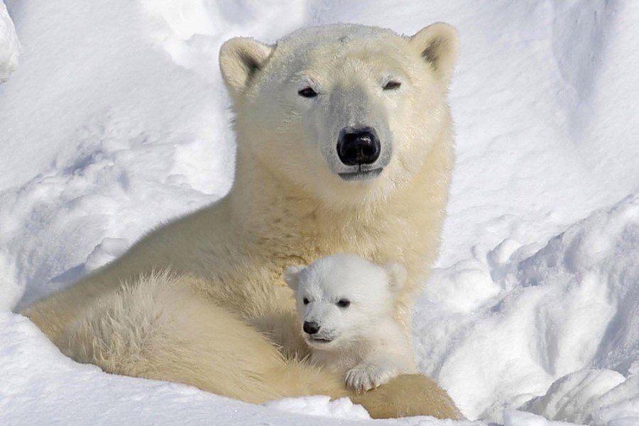 Trip Ideas polar bear snow animal mammal vertebrate white dog breed group arctic polar bear greenland dog
