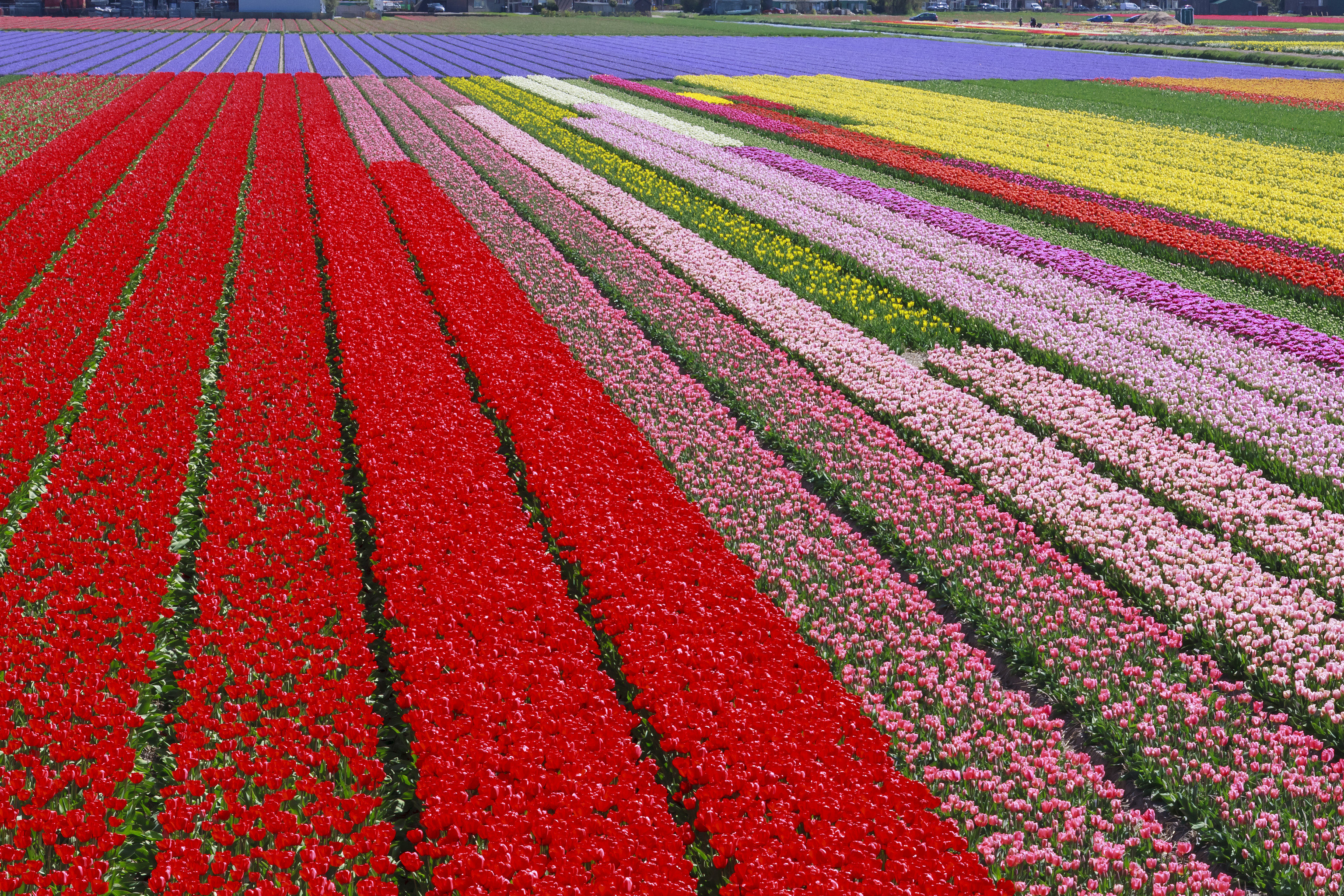 Trip Ideas grass outdoor flower plant field tulip land plant flowering plant red annual plant lily family colorful