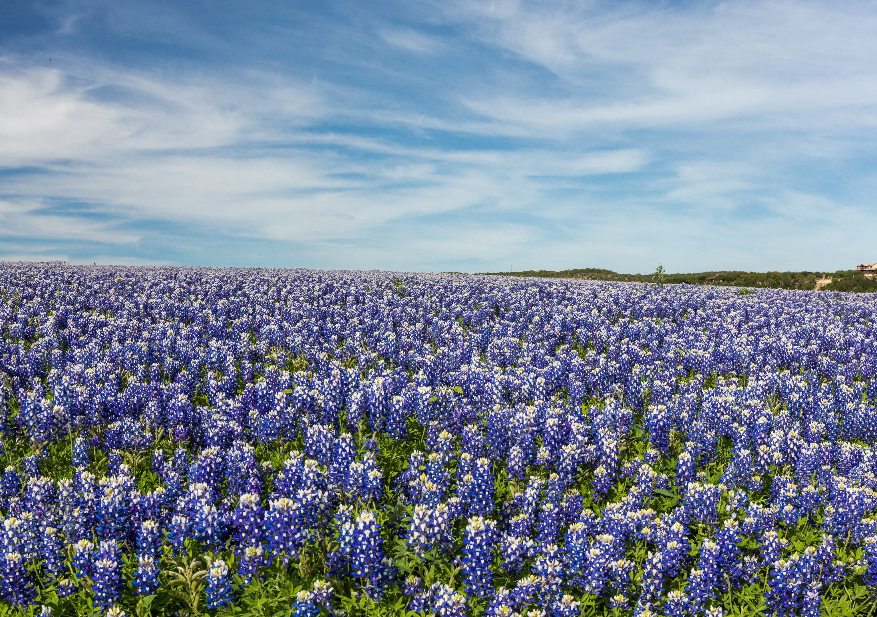 Trip Ideas outdoor tree flower bluebonnet plant lupin field land plant flowering plant grassland meadow wildflower prairie english lavender lavender crowd