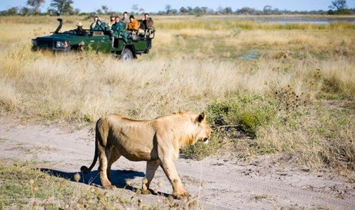 Trip Ideas grass outdoor animal mammal Lion field fauna grassland savanna Wildlife Safari plain Adventure prairie big cats cat like mammal big cat herd dirt wild dog