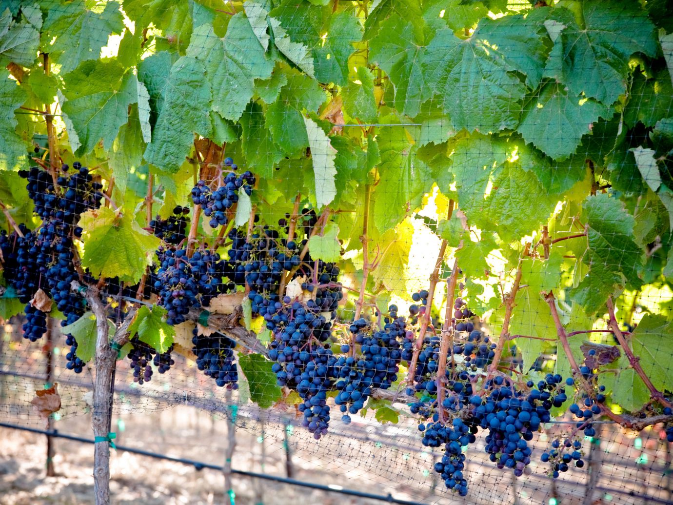 Nature Outdoor Activities Outdoors Travel Tips Wine-Tasting grape agriculture plant tree food produce vitis fruit Vineyard land plant grapevine family flowering plant leaf flower autumn Garden