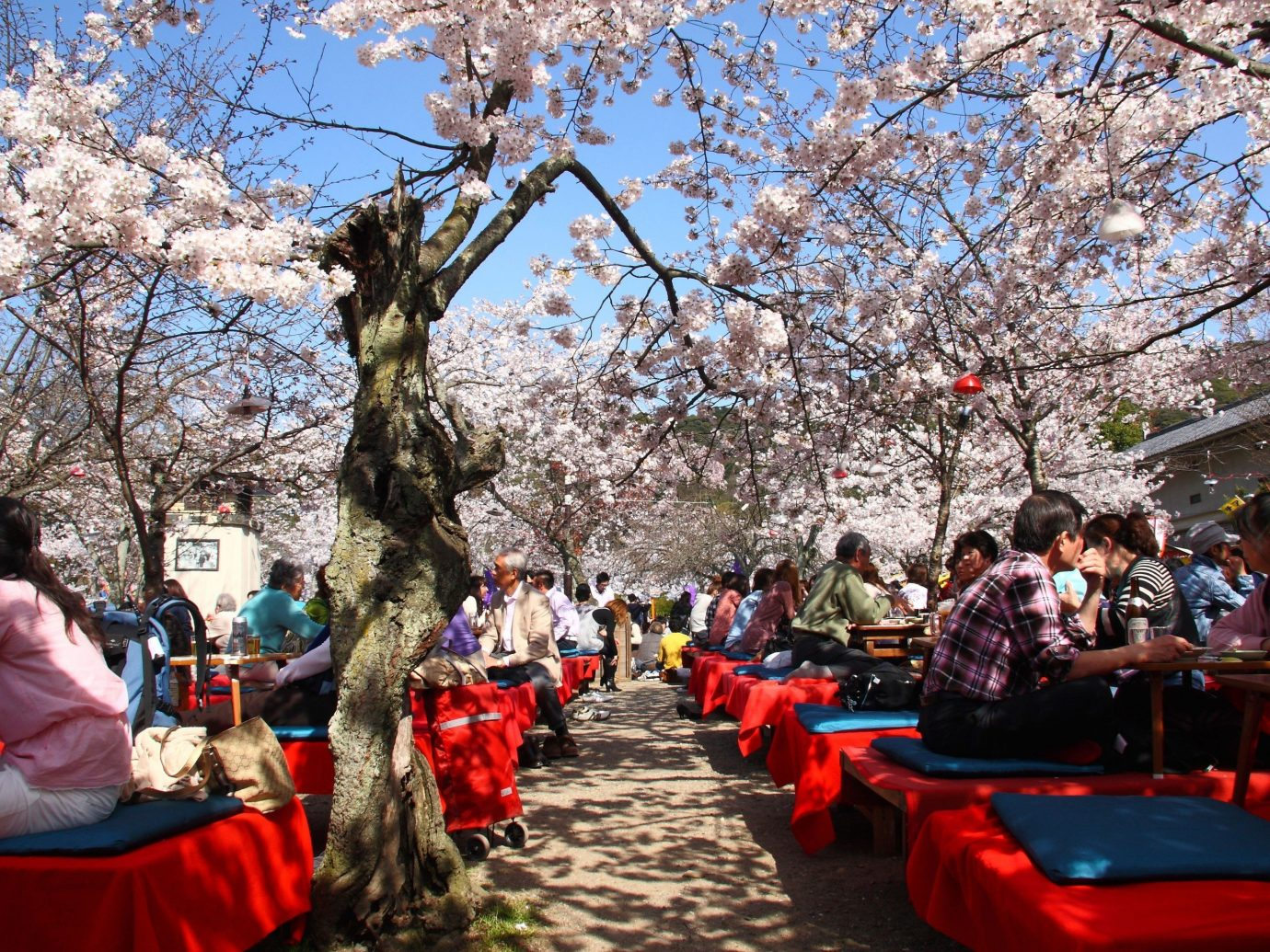 Trip Ideas tree outdoor person flower plant people cherry blossom spring group several