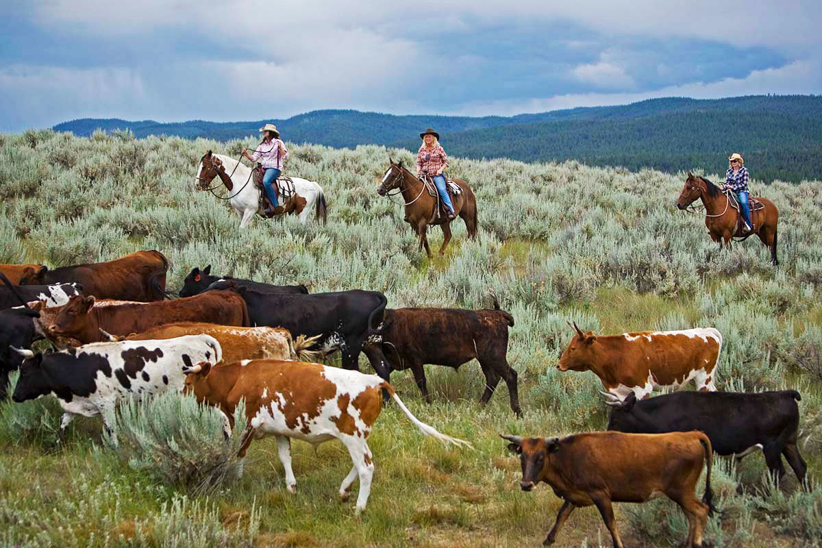 Glamping Luxury Travel Outdoors + Adventure cow sky grass outdoor habitat cattle pasture mammal group herd animal bovine field fauna natural environment grassland grazing brown cattle like mammal prairie rural area meadow grassy Ranch day distance