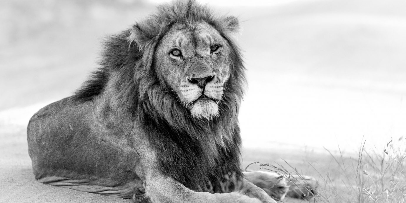 Trip Ideas outdoor big cat mammal animal Lion black and white vertebrate fauna dog breed group mane Wildlife monochrome photography big cats cat like mammal monochrome sketch roar drawing