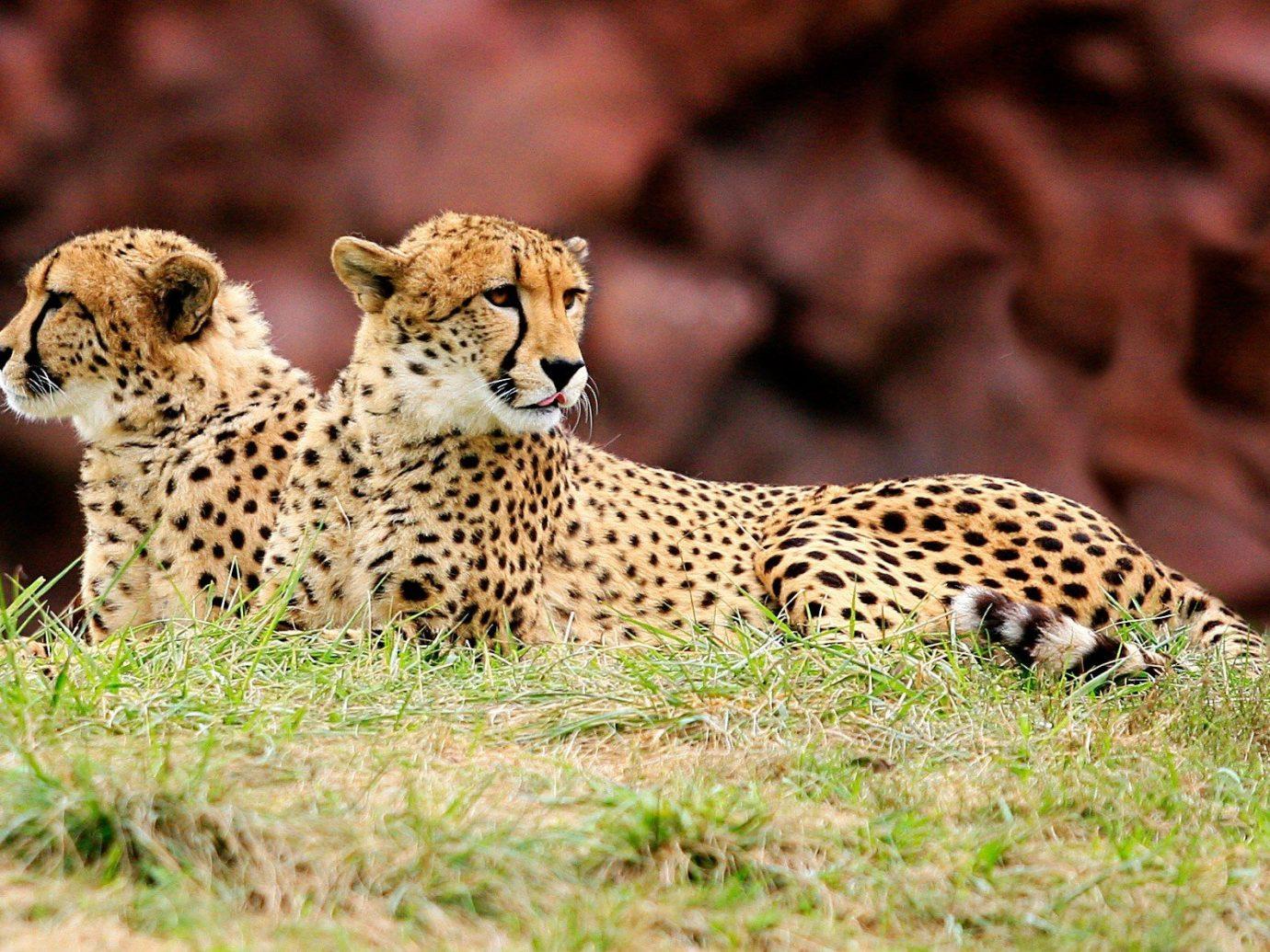 Jetsetter Guides grass animal mammal cheetah big cat outdoor vertebrate Wildlife fauna leopard cat like mammal savanna Safari small to medium sized cats