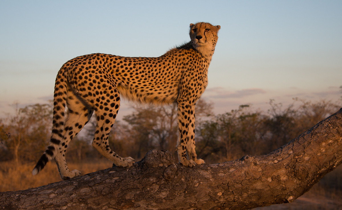 Trip Ideas sky outdoor mammal animal cheetah big cat vertebrate Wildlife fauna cat like mammal savanna small to medium sized cats Safari