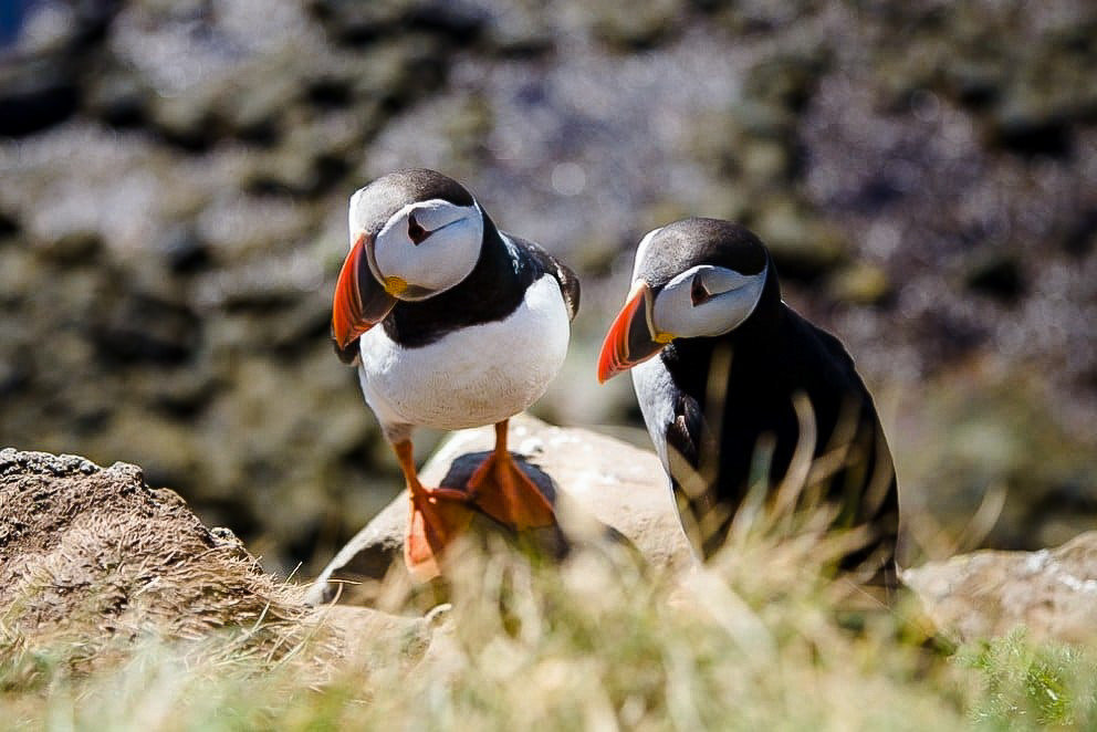 Iceland Travel Tips outdoor Bird animal aquatic bird puffin rock grass beak Nature vertebrate Wildlife standing colorful fauna charadriiformes seabird colored shorebird