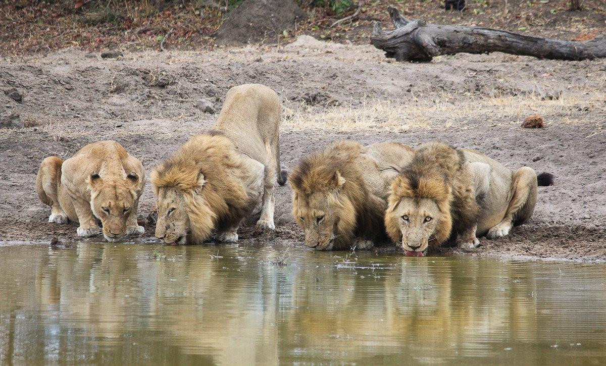 Offbeat Safaris outdoor water animal ground mammal Lion Wildlife fauna dog breed group big cats Safari Drink zoo cat like mammal drinking